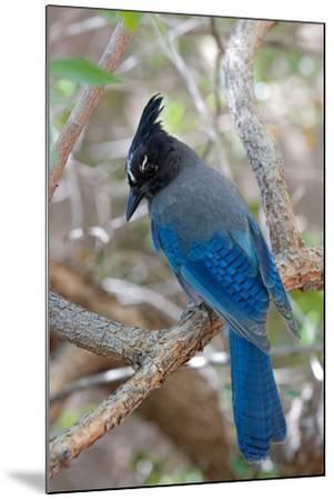 Stellers Jay, Cyanocitta Stelleri, Arizona-Susan Degginger-Mounted Photographic Print