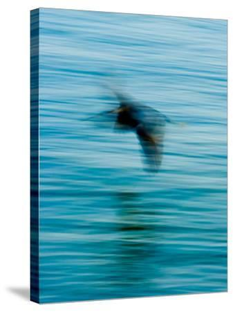 Egret Flying in Blur Caused by Slow Shutter Speed-James White-Stretched Canvas Print