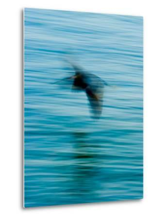 Egret Flying in Blur Caused by Slow Shutter Speed-James White-Metal Print