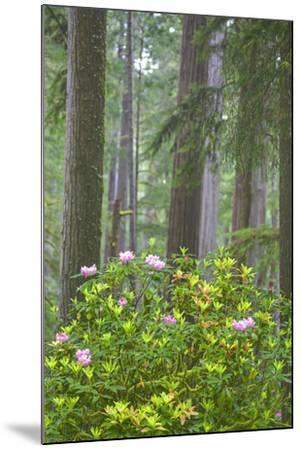 Redwood Trees and Rhododendrons in Forest-Terry Eggers-Mounted Photographic Print