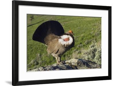 Dusky Grouse, Courtship Display-Ken Archer-Framed Photographic Print