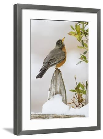 Wichita Falls, Texas. American Robin Searching for Berries-Larry Ditto-Framed Photographic Print