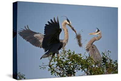 Florida, Venice, Great Blue Heron, Courting Stick Transfer Ceremony-Bernard Friel-Stretched Canvas Print