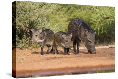 Starr County, Texas. Collared Peccary Family in Thorn Brush Habitat-Larry Ditto-Stretched Canvas Print
