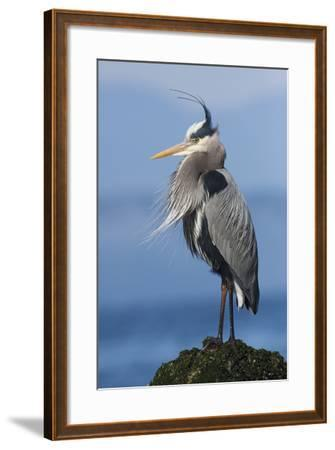 Great Blue Heron, Attempting to Preen on a Windy Day-Ken Archer-Framed Photographic Print