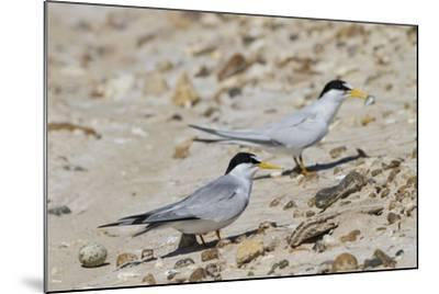 Port Isabel, Texas. Least Tern Beside Egg at Nest Colony-Larry Ditto-Mounted Photographic Print