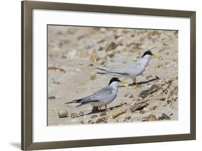 Port Isabel, Texas. Least Tern Beside Egg at Nest Colony-Larry Ditto-Framed Photographic Print