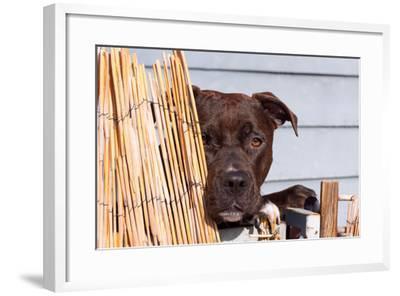 American Pit Bull Peeking at You-Zandria Muench Beraldo-Framed Photographic Print