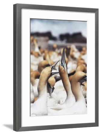 South Africa, Western Cape, High Jinks in the Gannet Colony-Stuart Westmorland-Framed Photographic Print