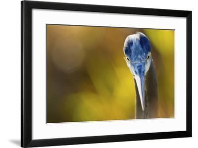 Great Blue Heron, Close Up Portrait-Ken Archer-Framed Photographic Print