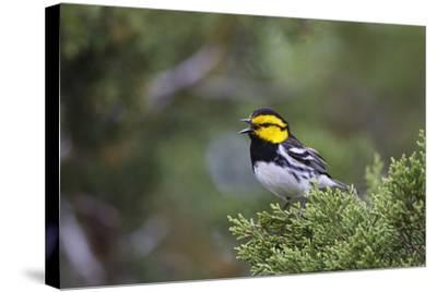 Kinney County, Texas. Golden Cheeked Warbler in Juniper Thicket-Larry Ditto-Stretched Canvas Print