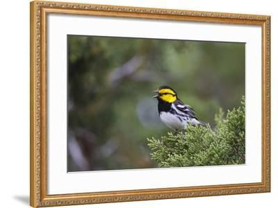 Kinney County, Texas. Golden Cheeked Warbler in Juniper Thicket-Larry Ditto-Framed Photographic Print