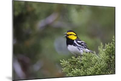 Kinney County, Texas. Golden Cheeked Warbler in Juniper Thicket-Larry Ditto-Mounted Photographic Print