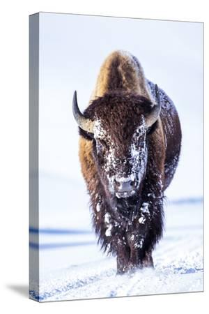 Wyoming, Yellowstone National Park, Bull Bison Walking in Hayden Valley-Elizabeth Boehm-Stretched Canvas Print