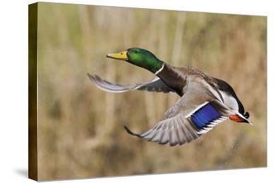Mallard Drake Taking Flight-Ken Archer-Stretched Canvas Print