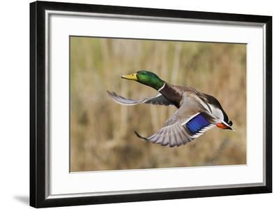 Mallard Drake Taking Flight-Ken Archer-Framed Photographic Print