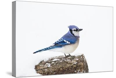 Wichita County, Texas. Blue Jay, Cyanocitta Cristata, Feeding in Snow-Larry Ditto-Stretched Canvas Print