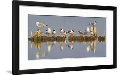 Montana, Red Rock Lakes, Franklyns Gulls and Ring Billed Gulls Roost-Elizabeth Boehm-Framed Photographic Print