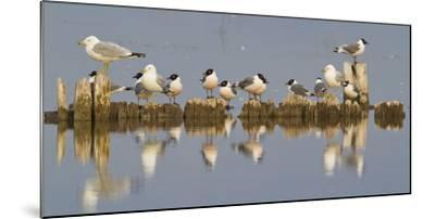 Montana, Red Rock Lakes, Franklyns Gulls and Ring Billed Gulls Roost-Elizabeth Boehm-Mounted Photographic Print