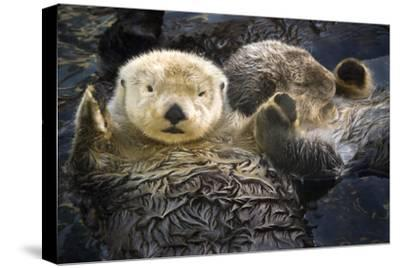 Two Sea Otters Holding Paws at Vancouver Aquarium in Vancouver, British Columbia Canada-Design Pics Inc-Stretched Canvas Print
