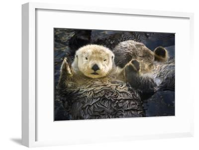 Two Sea Otters Holding Paws at Vancouver Aquarium in Vancouver, British Columbia Canada-Design Pics Inc-Framed Photographic Print
