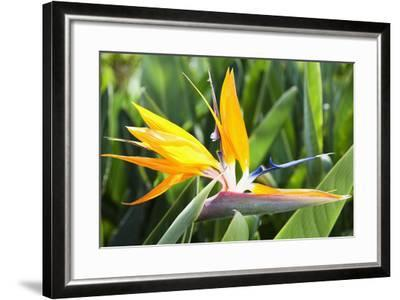 Tropical Bird of Paradise Flower in Full Bloom Oahu, Hawaii, United States of America-Design Pics Inc-Framed Photographic Print
