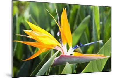 Tropical Bird of Paradise Flower in Full Bloom Oahu, Hawaii, United States of America-Design Pics Inc-Mounted Photographic Print