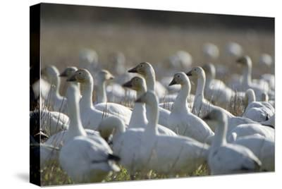 A Flock of Snow Geese, Chen Caerulescens, in a Farmer's Field-Paul Colangelo-Stretched Canvas Print