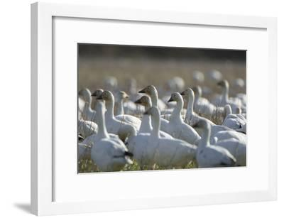 A Flock of Snow Geese, Chen Caerulescens, in a Farmer's Field-Paul Colangelo-Framed Photographic Print