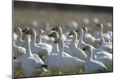 A Flock of Snow Geese, Chen Caerulescens, in a Farmer's Field-Paul Colangelo-Mounted Photographic Print