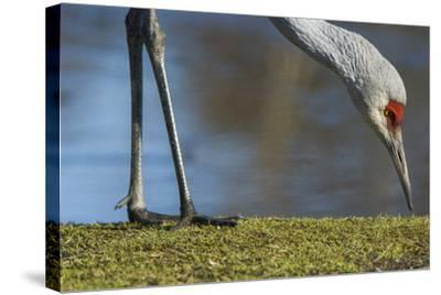 Close Up of a Sandhill Crane, Grus Canadensis, Feeding-Paul Colangelo-Stretched Canvas Print