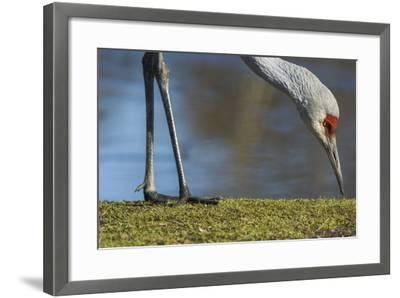 Close Up of a Sandhill Crane, Grus Canadensis, Feeding-Paul Colangelo-Framed Photographic Print