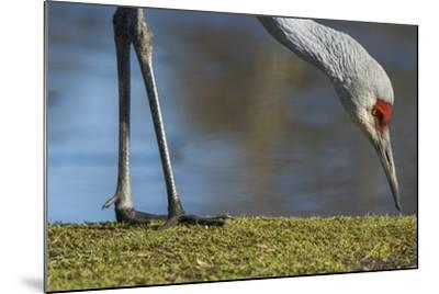 Close Up of a Sandhill Crane, Grus Canadensis, Feeding-Paul Colangelo-Mounted Photographic Print