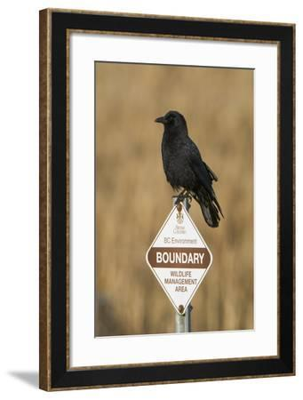 A Northwestern Crow, Corvus Caurinus, Perched on a Government Sign-Paul Colangelo-Framed Photographic Print