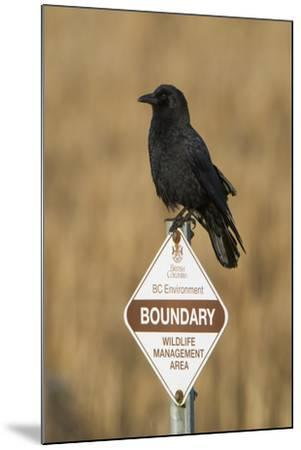 A Northwestern Crow, Corvus Caurinus, Perched on a Government Sign-Paul Colangelo-Mounted Photographic Print
