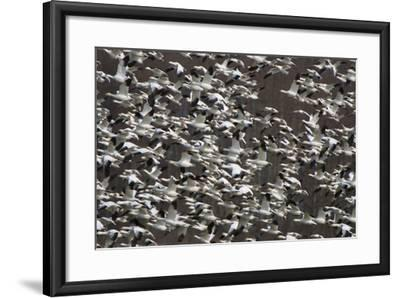 A Flock of Snow Geese, Chen Caerulescens, in Flight-Paul Colangelo-Framed Photographic Print