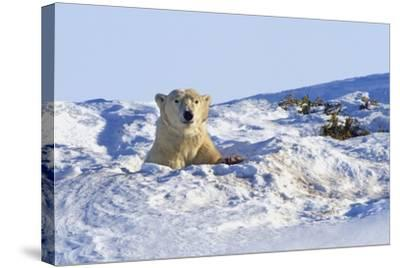 Polar Bear (Ursus Maritimus) in Wapusk National Park; Churchill, Manitoba, Canada-Design Pics Inc-Stretched Canvas Print