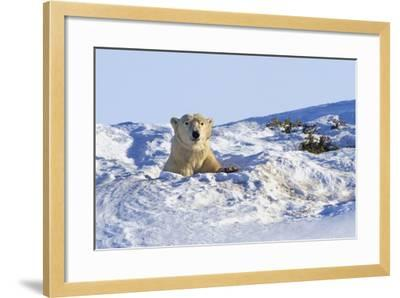 Polar Bear (Ursus Maritimus) in Wapusk National Park; Churchill, Manitoba, Canada-Design Pics Inc-Framed Photographic Print