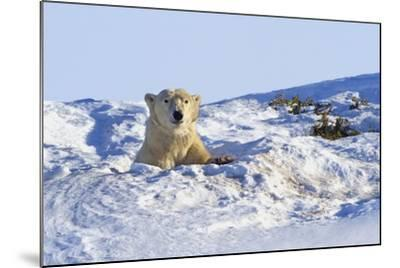 Polar Bear (Ursus Maritimus) in Wapusk National Park; Churchill, Manitoba, Canada-Design Pics Inc-Mounted Photographic Print