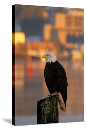 Bald Eagle Perched on Piling across from Downtown Juneau in Evening, Se Alaska-Design Pics Inc-Stretched Canvas Print