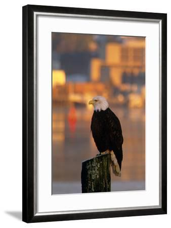 Bald Eagle Perched on Piling across from Downtown Juneau in Evening, Se Alaska-Design Pics Inc-Framed Photographic Print