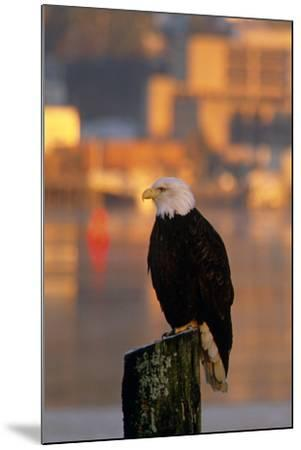 Bald Eagle Perched on Piling across from Downtown Juneau in Evening, Se Alaska-Design Pics Inc-Mounted Photographic Print