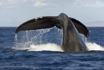 Hawaii, Lanai, Tail of a Humpback Whale (Megaptera Novaeangliae)-Design Pics Inc-Framed Photographic Print
