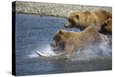 Mother Brown Bear and Her Cubs Chase Salmon at Mikfik Creek During Summer in Southwest Alaska-Design Pics Inc-Stretched Canvas Print