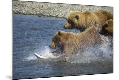Mother Brown Bear and Her Cubs Chase Salmon at Mikfik Creek During Summer in Southwest Alaska-Design Pics Inc-Mounted Photographic Print