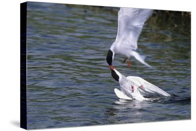 Arctic Terns Displaying Mating Behavior at Potter Marsh During Spring in Southcentral Alaska-Design Pics Inc-Stretched Canvas Print
