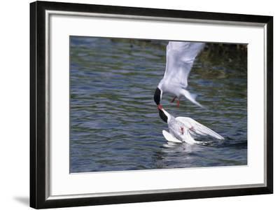 Arctic Terns Displaying Mating Behavior at Potter Marsh During Spring in Southcentral Alaska-Design Pics Inc-Framed Photographic Print