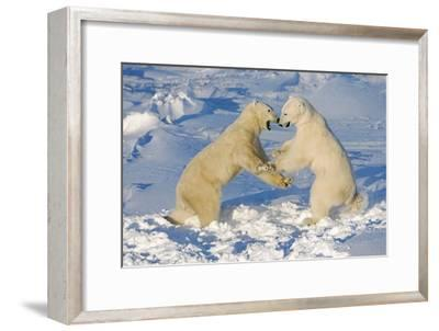 Polar Bears Wrestling and Play Fighting at Churchill, Manitoba, Canada-Design Pics Inc-Framed Photographic Print