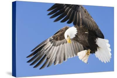Bald Eagle in Flight with Talons Holding Fish Near Eagle River, Alaska-Design Pics Inc-Stretched Canvas Print