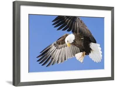 Bald Eagle in Flight with Talons Holding Fish Near Eagle River, Alaska-Design Pics Inc-Framed Photographic Print